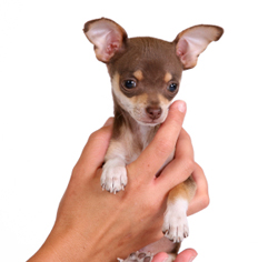 Potty training a chihuahua puppy pads mednet