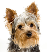 Yorkshire Terrier Barking